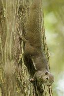 squirrel sp