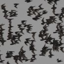 Asian Wrinkle-lipped Bats.