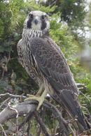 Pergrine Falcon, juvenile