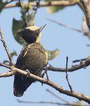 Heart-spotted Woodpecker, male.