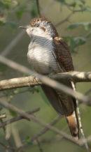Bay-breasted Cuckooshrike
