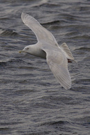 Kumlien's Gull, 3rd winter.