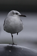 Laughing Gull, 2nd winter.