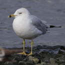 Ring-billed Gull, adult.