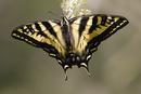 Tiger Swallowtail butterfly (Papilio sp)