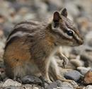 Yellow-pine Chipmunk (Tamais amoenus)