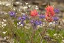 Alpine Meadow plants, including the Common Red Paintbrush (Castilleja miniata).