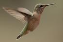 Rufous Hummingbird (Selasphorus ruber)