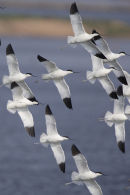 Avocets, part of a flock of 60 flying around the reserve.