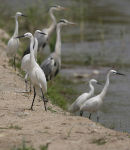 The Albufera de Valencia is a superb wetland site for members of the heron family.